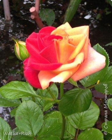 Роза вот такой необычной расцветки распустилась сегодня у мамы в палисаднике! фото 2