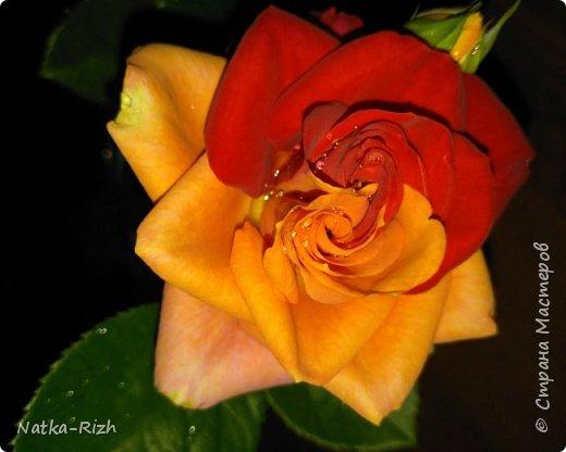 Роза вот такой необычной расцветки распустилась сегодня у мамы в палисаднике! фото 1