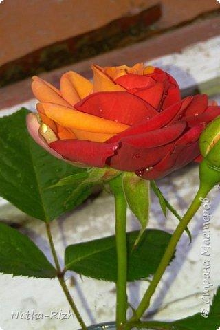 Роза вот такой необычной расцветки распустилась сегодня у мамы в палисаднике! фото 7