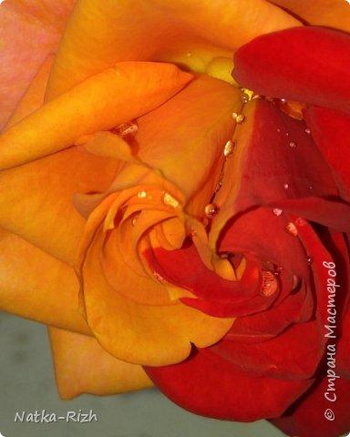 Роза вот такой необычной расцветки распустилась сегодня у мамы в палисаднике! фото 4