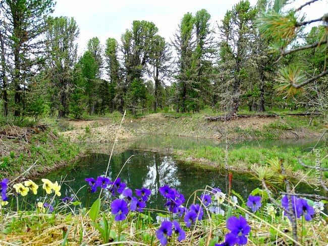 Это Иоанн Кронштадтский, святой праведник, сказал, что цветы – остатки рая на земле. И разве нельзя назвать райским местом этот родник в Бешпельтирском логу? У нас, в Горном Алтае, такая красота повсюду. И я приглашаю вас на неспешную прогулку по цветущему Алтаю. фото 49