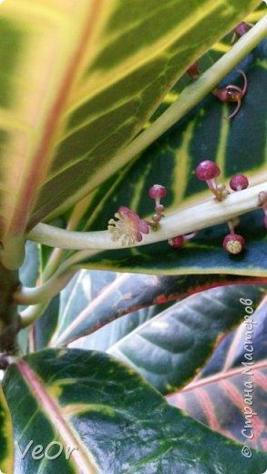 Кротон (кодиеум) рос себе спокойно, радовал яркими листочками и вдруг зацвел. Даже не знала, что они цветут ))  фото 5