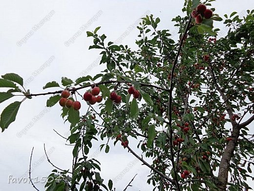 Пытаюсь следить за некоторыми изменениями в природе с весны... некоторые предыдущие фото изменений можно увидеть в моих предыдущих записях... вот уже начала спеть черешня.... фото 1