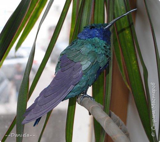 Как оказалось, не все колибри такие крохотные, как мы привыкли их представлять. Сверкающий колибри достигает в длину 14 см!  фото 2