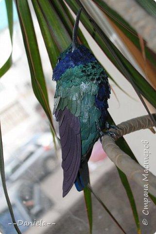 Как оказалось, не все колибри такие крохотные, как мы привыкли их представлять. Сверкающий колибри достигает в длину 14 см!  фото 3