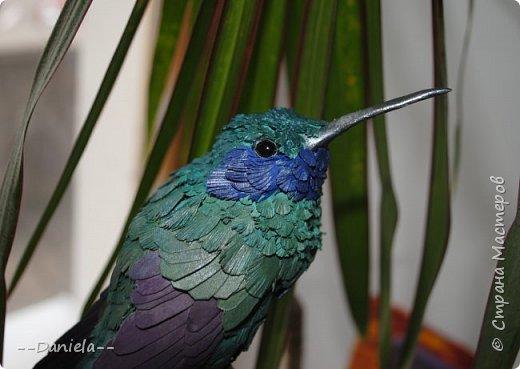 Как оказалось, не все колибри такие крохотные, как мы привыкли их представлять. Сверкающий колибри достигает в длину 14 см!  фото 6