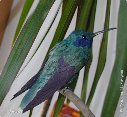 Как оказалось, не все колибри такие крохотные, как мы привыкли их представлять. Сверкающий колибри достигает в длину 14 см!  фото 5