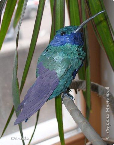 Как оказалось, не все колибри такие крохотные, как мы привыкли их представлять. Сверкающий колибри достигает в длину 14 см!  фото 1