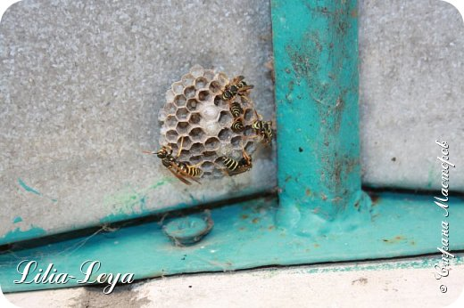 Спрашивается: и что мне спокойно не сиделось в один их тихих и теплых вечеров в саду на скамеечке?!  На глаза попался самый обыкновенный веник. Валяется не на своем месте. Надо отнести. Отнесла...называется(   Пока шла отгоняя им от себя ненасытных комаров, увидела на можжевельнике паутину. Убрала.  P.S. Не понятно: почему пауки его так любят?! Вечером избавишься от их рукоделия, а утром новый шедевр получаешь. Вот с кого пример трудолюбия надо брать))) ...и на сетке-рабице их произведения. Дальше - больше. Очистила стены, обмела подоконники, ворота.. .А сама все ближе и ближе приближаюсь к заветным порожкам.   Сейчас, как я думала, поставлю веник и отделалась. Последний штрих к ничего не деланию - навес от дождя над входной дверью. Поднимаю предвкушающие счастливое безделье очи вверх и...дарю себе ночь кошмаров(   Враги у самого порога в дом!   УЛЕЙ! ОСИНЫЙ! фото 1