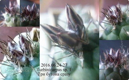 Доброго времени суток, Страна! В своих предыдущих репортажах (http://stranamasterov.ru/node/1036589, http://stranamasterov.ru/node/1037554, http://stranamasterov.ru/node/1037709) я рассказал о ночном цветении моих зелёных ёжиков.  Но кактусята цвели в этот период и днём. Сегодняшний мой фоторепортаж именно о них. С 28-го июня по 1-е июля обильно цвели Турбиникарпусы разных видов. Такого массового цветения среди моих ёжиков я что-то не помню. Предлагаю полюбоваться цветущими кактусами. Turbinicarpus schmiedickeanus ssp. klinkerianus. На правом фото он сзади, самый дальний. фото 4