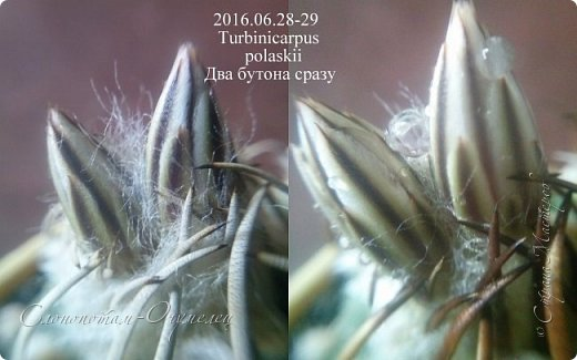 Доброго времени суток, Страна! В своих предыдущих репортажах (http://stranamasterov.ru/node/1036589, http://stranamasterov.ru/node/1037554, http://stranamasterov.ru/node/1037709) я рассказал о ночном цветении моих зелёных ёжиков.  Но кактусята цвели в этот период и днём. Сегодняшний мой фоторепортаж именно о них. С 28-го июня по 1-е июля обильно цвели Турбиникарпусы разных видов. Такого массового цветения среди моих ёжиков я что-то не помню. Предлагаю полюбоваться цветущими кактусами. Turbinicarpus schmiedickeanus ssp. klinkerianus. На правом фото он сзади, самый дальний. фото 2