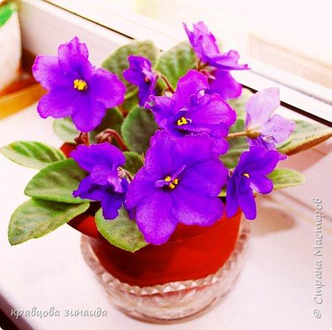 ДОБРЫЙ ДЕНЬ СТРАНА МАСТЕРОВ, лето , солнышко, тепло , все радуются приятному летнему отдыху , вот и я радуюсь своими комнатными растениями, в апреле я их почти все выношу на лоджию , на солнышко, чтобы дышали свежим воздухом и они мне отвечают своим цветением , решила поделиться с вами фото 4