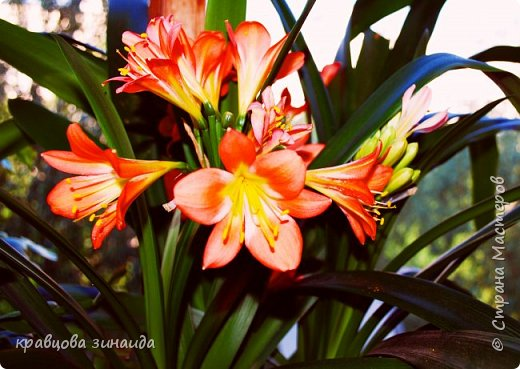 ДОБРЫЙ ДЕНЬ СТРАНА МАСТЕРОВ, лето , солнышко, тепло , все радуются приятному летнему отдыху , вот и я радуюсь своими комнатными растениями, в апреле я их почти все выношу на лоджию , на солнышко, чтобы дышали свежим воздухом и они мне отвечают своим цветением , решила поделиться с вами фото 1