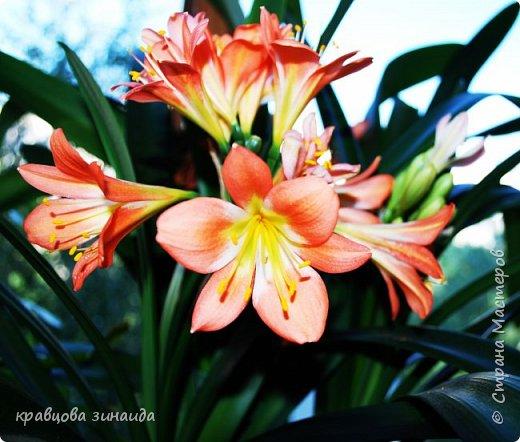 ДОБРЫЙ ДЕНЬ СТРАНА МАСТЕРОВ, лето , солнышко, тепло , все радуются приятному летнему отдыху , вот и я радуюсь своими комнатными растениями, в апреле я их почти все выношу на лоджию , на солнышко, чтобы дышали свежим воздухом и они мне отвечают своим цветением , решила поделиться с вами фото 2