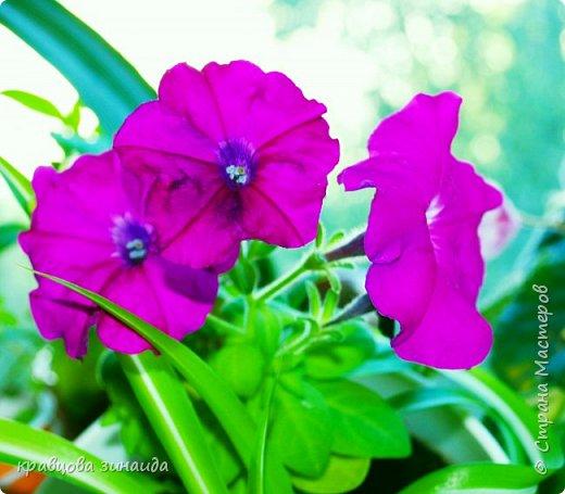 ДОБРЫЙ ДЕНЬ СТРАНА МАСТЕРОВ, лето , солнышко, тепло , все радуются приятному летнему отдыху , вот и я радуюсь своими комнатными растениями, в апреле я их почти все выношу на лоджию , на солнышко, чтобы дышали свежим воздухом и они мне отвечают своим цветением , решила поделиться с вами фото 11