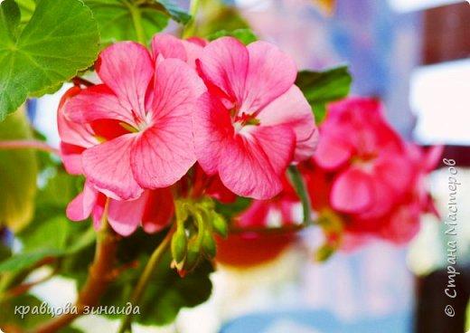 ДОБРЫЙ ДЕНЬ СТРАНА МАСТЕРОВ, лето , солнышко, тепло , все радуются приятному летнему отдыху , вот и я радуюсь своими комнатными растениями, в апреле я их почти все выношу на лоджию , на солнышко, чтобы дышали свежим воздухом и они мне отвечают своим цветением , решила поделиться с вами фото 5