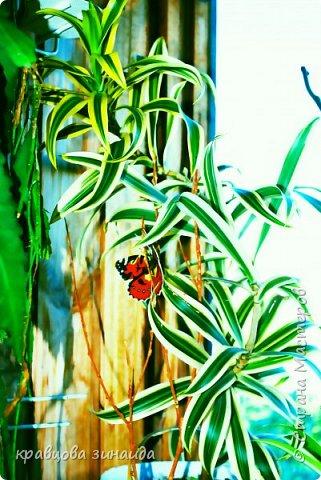 ДОБРЫЙ ДЕНЬ СТРАНА МАСТЕРОВ, лето , солнышко, тепло , все радуются приятному летнему отдыху , вот и я радуюсь своими комнатными растениями, в апреле я их почти все выношу на лоджию , на солнышко, чтобы дышали свежим воздухом и они мне отвечают своим цветением , решила поделиться с вами фото 3
