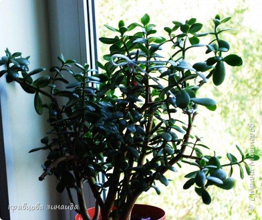 ДОБРЫЙ ДЕНЬ СТРАНА МАСТЕРОВ, лето , солнышко, тепло , все радуются приятному летнему отдыху , вот и я радуюсь своими комнатными растениями, в апреле я их почти все выношу на лоджию , на солнышко, чтобы дышали свежим воздухом и они мне отвечают своим цветением , решила поделиться с вами фото 9