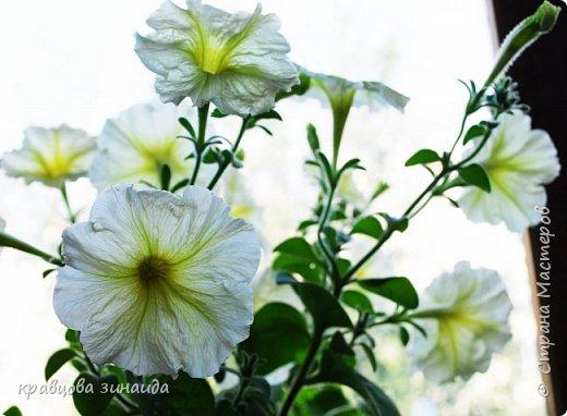 ДОБРЫЙ ДЕНЬ СТРАНА МАСТЕРОВ, лето , солнышко, тепло , все радуются приятному летнему отдыху , вот и я радуюсь своими комнатными растениями, в апреле я их почти все выношу на лоджию , на солнышко, чтобы дышали свежим воздухом и они мне отвечают своим цветением , решила поделиться с вами фото 8