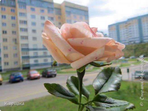 Доброго времени суток, СМ! Продолжаю осваивать хф и в частности розы. Сегодня хочу поделиться с Вами своей садовой розочкой. Вышла она не большая -  около 20 см (точно не измеряла).  фото 9