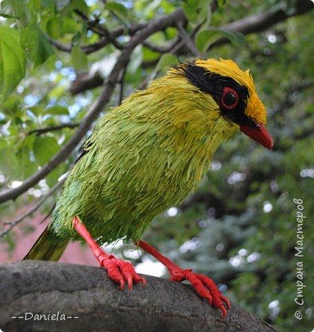 Зеленая цисса - вид птиц из самого нарядного рода в семействе врановых - циссы. Обладательница самого длинного хвоста среди цисс. фото 1