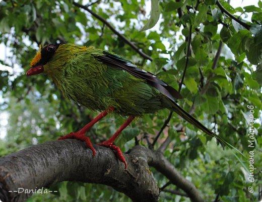 Зеленая цисса - вид птиц из самого нарядного рода в семействе врановых - циссы. Обладательница самого длинного хвоста среди цисс. фото 7