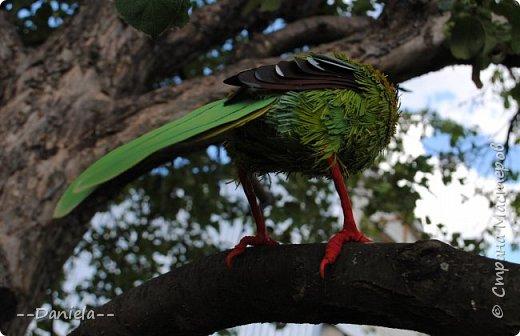 Зеленая цисса - вид птиц из самого нарядного рода в семействе врановых - циссы. Обладательница самого длинного хвоста среди цисс. фото 3