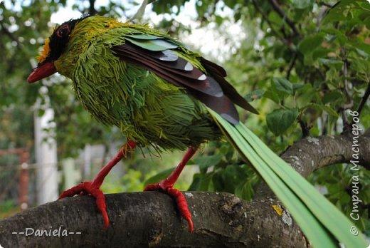 Зеленая цисса - вид птиц из самого нарядного рода в семействе врановых - циссы. Обладательница самого длинного хвоста среди цисс. фото 4