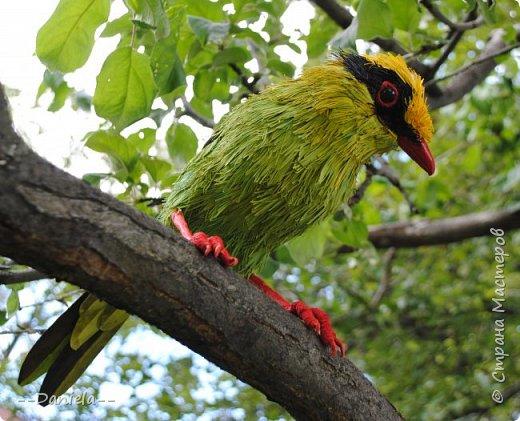 Зеленая цисса - вид птиц из самого нарядного рода в семействе врановых - циссы. Обладательница самого длинного хвоста среди цисс. фото 2