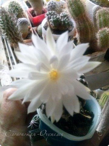 Доброго времени суток, Страна! Из-за обострения болячек всё ещё не могу заниматься творчеством-ремесленничеством. Зато появилось время для ухода за моими кактусятами. Я и в другие годы уделял им внимание, но не так много, как в этом году. Кактусята благодарят меня за заботу и обильно цветут. Ранее показывал цветение кактуса Дискокактус хорсти (http://stranamasterov.ru/node/1036589, http://stranamasterov.ru/node/1037554), он выпустил тогда два цветка. И вот опять я увидел бутон и успел заснять новое цветение этого кактуса, его прекрасный цветок. фото 1
