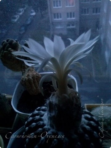 Доброго времени суток, Страна! Из-за обострения болячек всё ещё не могу заниматься творчеством-ремесленничеством. Зато появилось время для ухода за моими кактусятами. Я и в другие годы уделял им внимание, но не так много, как в этом году. Кактусята благодарят меня за заботу и обильно цветут. Ранее показывал цветение кактуса Дискокактус хорсти (http://stranamasterov.ru/node/1036589, http://stranamasterov.ru/node/1037554), он выпустил тогда два цветка. И вот опять я увидел бутон и успел заснять новое цветение этого кактуса, его прекрасный цветок. фото 11