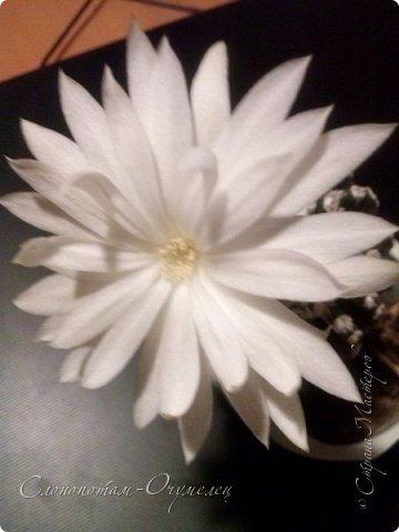 Доброго времени суток, Страна! Из-за обострения болячек всё ещё не могу заниматься творчеством-ремесленничеством. Зато появилось время для ухода за моими кактусятами. Я и в другие годы уделял им внимание, но не так много, как в этом году. Кактусята благодарят меня за заботу и обильно цветут. Ранее показывал цветение кактуса Дискокактус хорсти (http://stranamasterov.ru/node/1036589, http://stranamasterov.ru/node/1037554), он выпустил тогда два цветка. И вот опять я увидел бутон и успел заснять новое цветение этого кактуса, его прекрасный цветок. фото 13