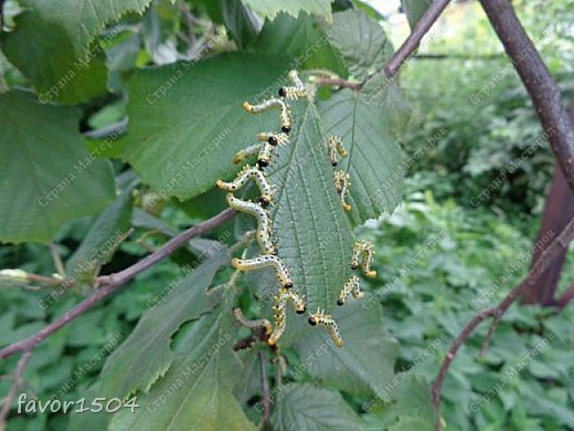 Есть масса интересного в природе... вот и в этот раз  попалась я в определениях.... В огороде рядом с баней растет куст лещины (орех, который мы все знаем как фундук...).. смотрю объедены на одной ветке листья - присмотрелась, а листья объедают гусеницы....вот о них и будет мой рассказ,  т.к. это не гусеницы бабочек, а личинки пилильщика.... Это родственник пчел,  шмелей и муравьев. Зимуют личинки в земле, а весной  из новых кладок выходят личинки, которые отличаются от гусениц тем, что у них не 5 а 8 ложных ножек и еще они выполняют необычный танец - отпугивая не только птиц, но и фотографов.... вот об этом танце я и хочу рассказать.... фото 6