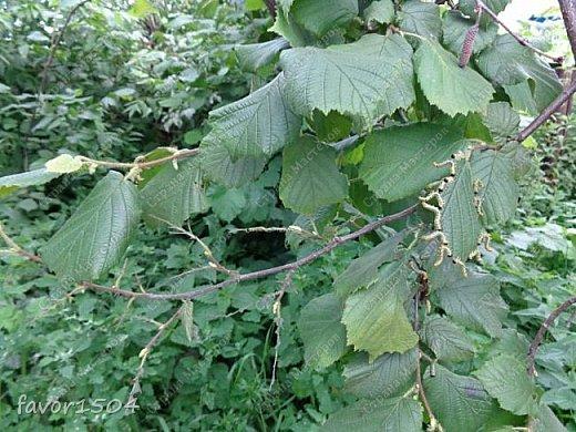 Есть масса интересного в природе... вот и в этот раз  попалась я в определениях.... В огороде рядом с баней растет куст лещины (орех, который мы все знаем как фундук...).. смотрю объедены на одной ветке листья - присмотрелась, а листья объедают гусеницы....вот о них и будет мой рассказ,  т.к. это не гусеницы бабочек, а личинки пилильщика.... Это родственник пчел,  шмелей и муравьев. Зимуют личинки в земле, а весной  из новых кладок выходят личинки, которые отличаются от гусениц тем, что у них не 5 а 8 ложных ножек и еще они выполняют необычный танец - отпугивая не только птиц, но и фотографов.... вот об этом танце я и хочу рассказать.... фото 2