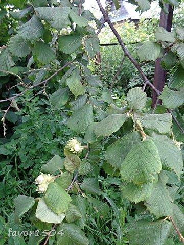 Есть масса интересного в природе... вот и в этот раз  попалась я в определениях.... В огороде рядом с баней растет куст лещины (орех, который мы все знаем как фундук...).. смотрю объедены на одной ветке листья - присмотрелась, а листья объедают гусеницы....вот о них и будет мой рассказ,  т.к. это не гусеницы бабочек, а личинки пилильщика.... Это родственник пчел,  шмелей и муравьев. Зимуют личинки в земле, а весной  из новых кладок выходят личинки, которые отличаются от гусениц тем, что у них не 5 а 8 ложных ножек и еще они выполняют необычный танец - отпугивая не только птиц, но и фотографов.... вот об этом танце я и хочу рассказать.... фото 1