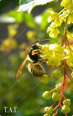 Нравится мне фотографировать окружающий мир. А особенно насекомых. На режиме макросъемки снимаю цветочки- мотылечки... фото 1