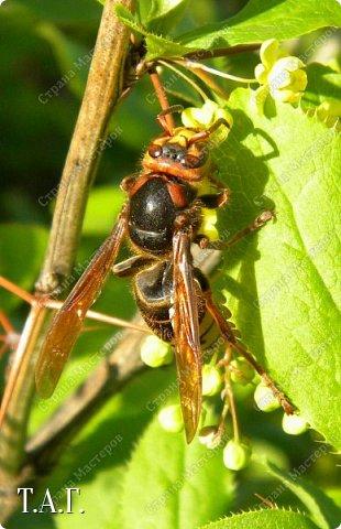 Нравится мне фотографировать окружающий мир. А особенно насекомых. На режиме макросъемки снимаю цветочки- мотылечки... фото 5