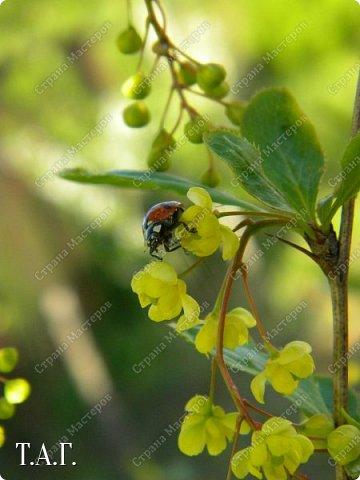 Нравится мне фотографировать окружающий мир. А особенно насекомых. На режиме макросъемки снимаю цветочки- мотылечки... фото 20
