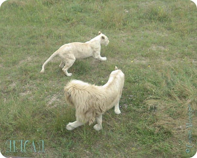 Экскурсия в парк львов ТАЙГАН фото 6