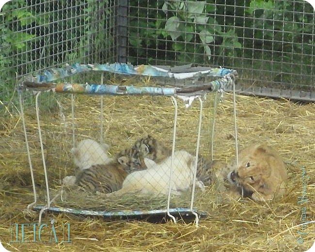 Экскурсия в парк львов ТАЙГАН фото 5