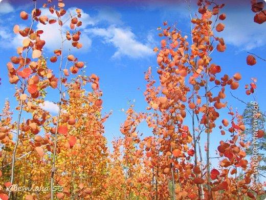 Первый раз видела цветущую сосну.  фото 10