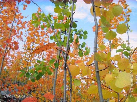 Первый раз видела цветущую сосну.  фото 11