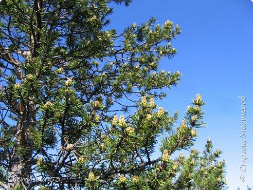 Первый раз видела цветущую сосну.  фото 1