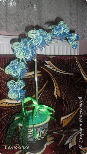 Ще одна моя орхідея фото 1