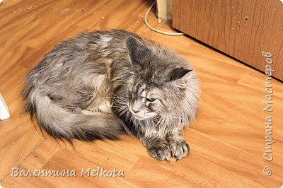 """Здравствуйте. Меня зовут Илья, мне 7 лет. У меня 3 кошки и 1 хомяк. Это моя кошка, её зовут Принцесса или Катана. Её подарили маме 5 лет назад. Она любит колбасу и её очень легко заставить """"хрюкать.""""                            кошка № 1 - 1 фото 4"""