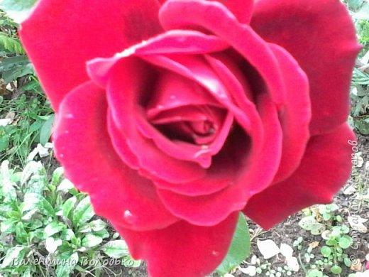 Здравствуйте жители Страны Мастеров!!!Сегодня я хочу показать вам свои цветы. фото 2