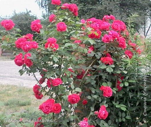 Здравствуйте жители Страны Мастеров!!!Сегодня я хочу показать вам свои цветы. фото 1