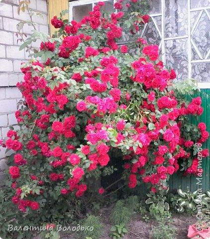 Здравствуйте жители Страны Мастеров!!!Сегодня я хочу показать вам свои цветы. фото 5