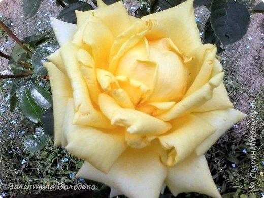 Здравствуйте жители Страны Мастеров!!!Сегодня я хочу показать вам свои цветы. фото 6