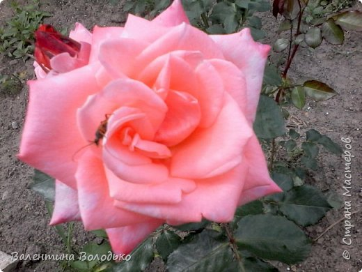 Здравствуйте жители Страны Мастеров!!!Сегодня я хочу показать вам свои цветы. фото 7
